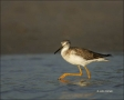 Greater-Yellowlegs;Yellowlegs;Tringa-melanoleuca;shorebirds;one-animal;close-up;