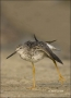 Florida;Yellowlegs;Greater-Yellowlegs;Tringa-melanoleuca;shorebirds;one-animal;c