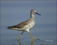 Florida;Lesser-Yellowlegs;Yellowlegs;Tringa-flavipes;shorebirds;one-animal;close