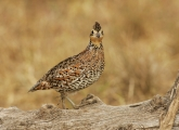 Female;Quail;Southwest-USA;Texas;Northern-Bobwhite;Colinus-virginianus;one-anima