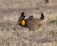 Prairie-Chicken;Minnesota;Male;Breeding-Display;Greater-Prairie-Chicken;one-anim