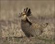 Greater-Prairie-Chicken;Prairie-Chicken;Minnesota;Male;Breeding-Display;Tympanuc