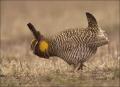 Greater-Prairie-Chicken;Prairie-Chicken;Minnesota;Breeding-Display;Male;Tympanuc