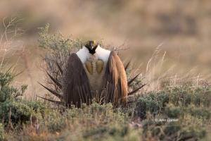 Breeding-Behavior;Breeding-Plumage;Centrocercus-urophasianus;Grasslands;Greater-