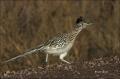 Greater-Roadrunner;Roadrunner;Geococcyx-californianus;Southwest-USA;one-animal;c