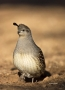 Gambels-Quail;Quail;Callipepla-gambelii;one-animal;close-up;color-image;nobody;p