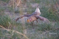 Grouse;Tympanuchus-phasianellus;Sharp-tailed-Grouse;Lek;Breeding-Behavior;Breedi