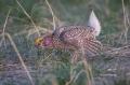 Grouse;Tympanuchus-phasianellus;Sharp-tailed-Grouse;One;one-animal;avifauna;bird