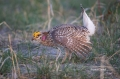 Sharp-tailed_Grouse