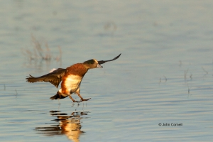 American-Wigeon;Anas-americana;California;Duck;Llano-Seco-NWR;One;avifauna;bird;