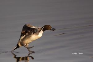 Anas-acuta;California;Colusa-National-Wildlife-Refuge;Duck;Flying-Bird;Northern-