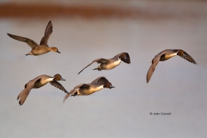 Anas-acuta;Breeding-Behavior;Breeding-Display;California;Duck;Flying-Bird;Llano-