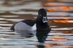 Aythya-collaris;Duck;One;Ring-necked-Duck;Sunrise;Swimming;Waterfowl;avifauna;bi