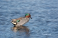 Anas-crecca;Green-winged-Teal;Male;One;Teal;avifauna;bird;birds;color-image;colo
