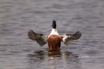 Anas-clypeata;Northern-Shoveler;One;avifauna;bird;birds;color-image;color-photog
