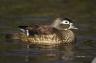 Wood-Duck;Duck;Aix-sponsa;one-animal;close-up;color-image;nobody;photography;day