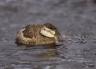 Ruddy-Duck;Duck;Oxyura-jamaicensis;one-animal;close-up;color-image;nobody;photog