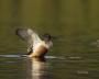 Northern-Shoveler;Florida;Southeast-USA;Anas-clypeata;one-animal;close-up;color-