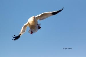 California;Chen-rossii;Colusa-National-Wildlife-Refuge;Flying-Bird;Goose;One;Pho