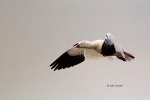 California;Chen-rossii;Colusa-National-Wildlife-Refuge;Goose;One;Ross-Goose;Ross