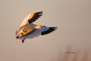 Chen-rossii;Flying-Bird;Goose;One;Photography;Ross-Goose;Rosss-Goose;action;acti
