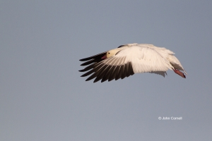 California;Chen-caerulescens;Colusa-National-Wildlife-Refuge;Goose;Snow-Goose;fl