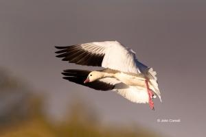 California;Chen-caerulescens;Colusa-National-Wildlife-Refuge;Flying-Bird;Goose;O