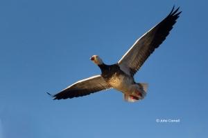 Blue-Morph;California;Chen-caerulescens;Colusa-National-Wildlife-Refuge;Goose;On