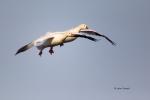 California;Chen-rossii;Colusa-National-Wildlife-Refuge;Flying-Bird;Goose;Photogr