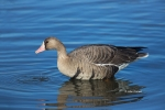 Anser-albifrons;Greater-White-fronted-Goose;One;White-fronted-Goose;avifauna;bir