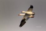 Chen-caerulescens;Chen-rossii;Flying-Bird;Flying-Birds;Goose;Photography;Rosss-G