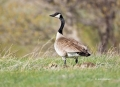 Goose;Branta-canadensis;one-animal;close-up;color-image;photography;day;outdoors