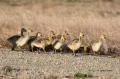 Goose;Branta-canadensis;Canada-Goose;Chicks;Juvenile;Flock;avifauna;bird;birds;f