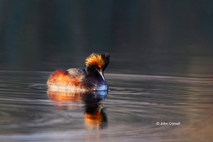 Eared-Grebe;Migration;One;Podiceps-nigricollis;Reflection;Sunset;Waterfowl;avifa