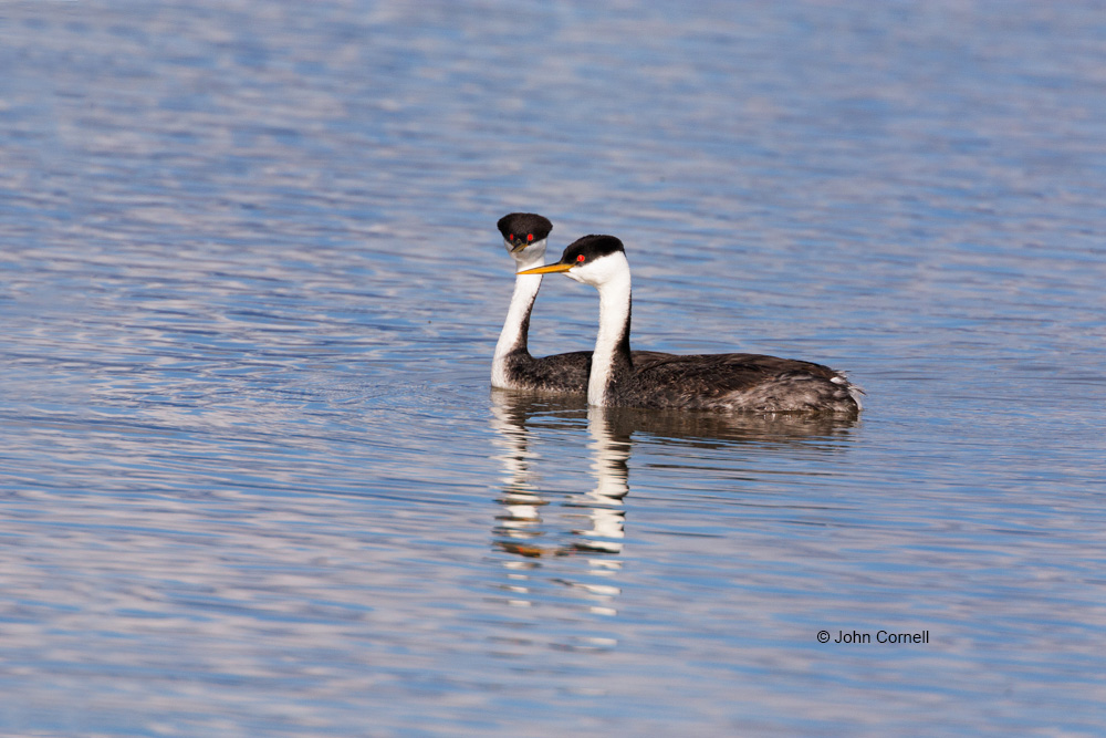 Aechmophorus clarkii;Breeding Plumage;Clark's Grebe;Clarks Grebe;Grebe;One;avifauna;bird;birds;color image;color photograph;feather;feathered;feathers;natural;nature;outdoor;outdoors;wild;wilderness;wildlife