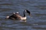 Aechmophorus-occidentalis;Grebe;chicks;feeding;nurture;parent;safety