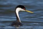 Aechmophorus-occidentalis;Grebe;One;Western-Grebe;avifauna;bird;birds;color-imag