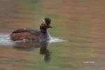 Eared-Grebe;One;Podiceps-nigricollis;avifauna;bird;birds;color-image;color-photo