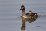 Eared-Grebe;Podiceps-nigricollis;Reflection;chick;parent;parenting;protectecting
