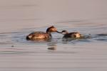 Eared-Grebe;Feeding-Behavior;Podiceps-nigricollis;chick;chicks;family;feeding;nu
