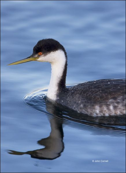 Western Grebe;Grebe;Aechmophorus occidentalis;portrait;one animal;close-up;color image;nobody;photography;day;outdoors. Wildlife;birds;animals in the wild;watchful