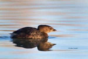 Pied-billed-Grebe;Podilymbus-podiceps;Reflection;Swimming;Waterfowl;portrait;wat