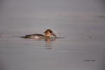 Mergus-serrator;One;Red-Breasted-Merganser;Waterfowl;avifauna;bird;birds;color-i