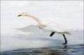 Whooper-Swan;Swan;Olor-cygnus;Japan;Waterfowl;Flying-Bird;action;active;aerodyna