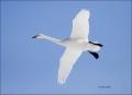 Whooper-Swan;Swan;Flight;Olor-cygnus;flying-bird;one-animal;close-up;color-image
