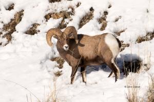Animals-in-the-Wild;Bighorn-Sheep;Ovis-canadensis;Sheep;Snow;Snow-Animals-in-the
