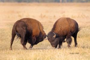 American-Bison;Bison-bison;Breeding-Season;Buffalo;Grand-Teton-National-Park;One
