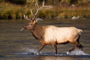 Breeding-Behavior;Breeding-Season-Bull;Cervus-canadensis;Elk;Madison-River;Madis