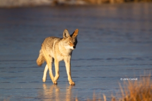 Canus-latrans;Cold;Coyote;Ice;Mammal;canine;foraging;frozen;frozen-lake;hunter;l