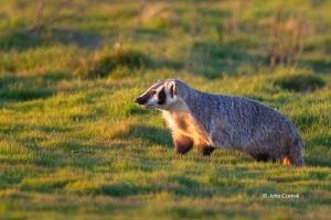 American-Badger;Badger;California;Furry;Merced-National-Wildlife-Refuge;Taxidea-